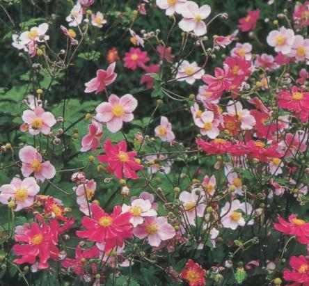 http://myfhology.narod.ru/planta/anemons.jpg